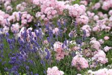 Rosen Mit Lavendel Im Blumenbeet