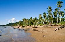 Wind Swept Palm Trees On Sarawak Bornio