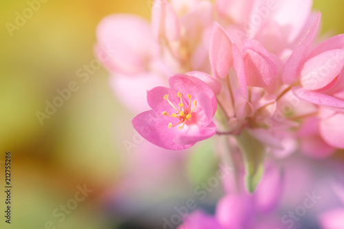Pink Mimosa Flower Branch Symbol Of Springlective Focus Buy