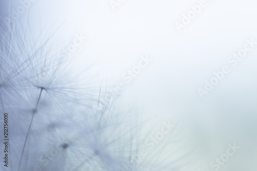 dandelion seeds on a blue background with  copy space close-up