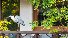 The Heron Stands On The Railing Of The Terrace, Kyoto, Japan.
