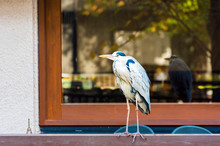 The Heron Stands In The Background Of The Window, Kyoto, Japan. Copy Space For Text.