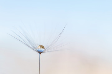 a drop of water on a dandelion. dandelion on a blue background with copy space close-up