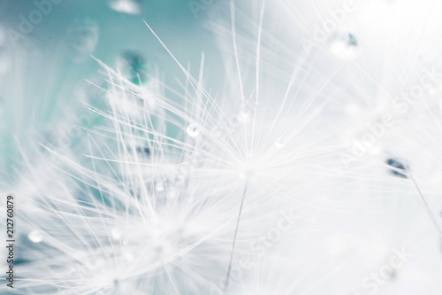 Pissenlit dandelion seeds with drops of water on a blue background close-up