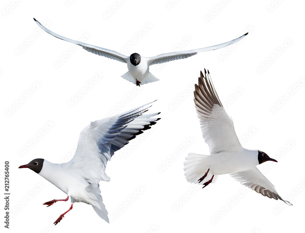three flying black headed gulls on white