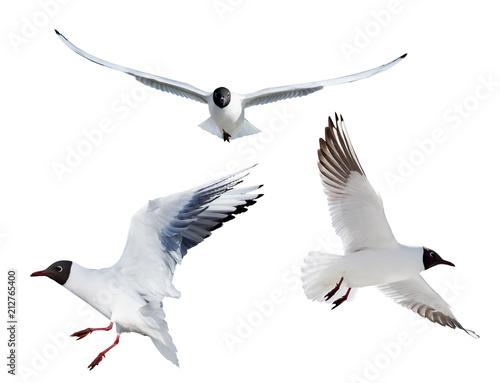 three flying black headed gulls on white