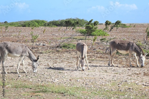 Deurstickers Ezel Wild donkey on the side of the road in the island of Bonaire