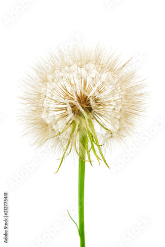 gluffy dandelion isolated on white