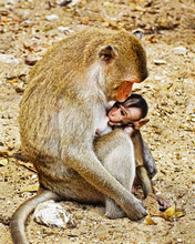 Monky Mom With Baby