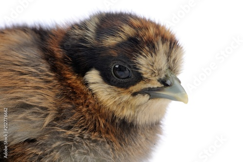 Fluffy Baby Chicken on White Background Canvas Print