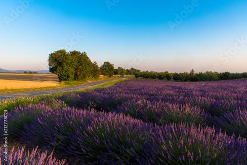 Spoed Foto op Canvas Lavendel Champs de lavande sur le Plateau de Valensole en Haute-Provence