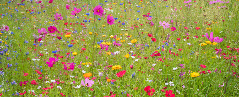 Fototapeta Field of colorful summer flowers in Traunstein region, Bavaria, Germany.