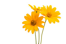 Flowers Heliopsis Isolated