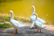 Three White Geese Family Walki...