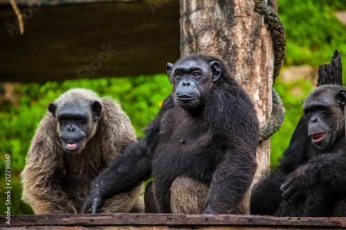 Photographie Common Chimpanzee sitting next .