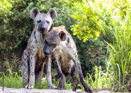 Papiers peints Hyène Portrait of a hyena family.