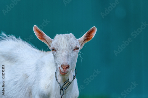 Fotografija Portrait of a young goat on a chain on the field