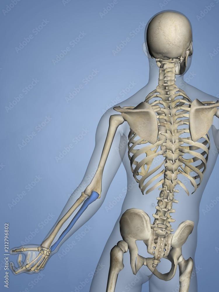 Ulna Human Skeleton 3d Model Foto Poster Wandbilder Bei Europosters