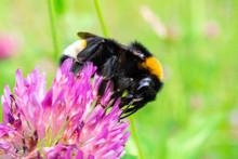 Bumblebee On A Clover