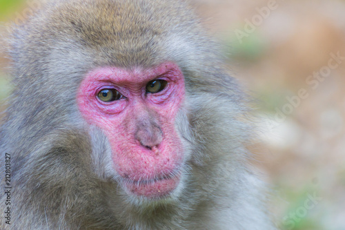 In de dag Native Japanese macaque Macaca fuscata with brown-grey fur, red face, and short tail; known as the snow monkey, seen in the Iwatayama monkey park located on the Arashiyama mountain near Kyoto, Japan