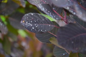 Bordowy liść z kroplami deszczu