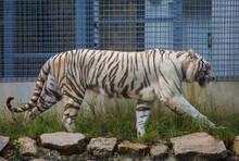 One White Tiger Walk Outdoor