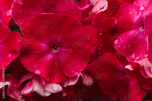 In de dag Dahlia Summer flowers, pink color-phlox, which grow on a flowerbed
