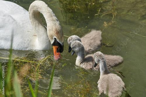 Fotografie, Obraz  Schwan Famielie