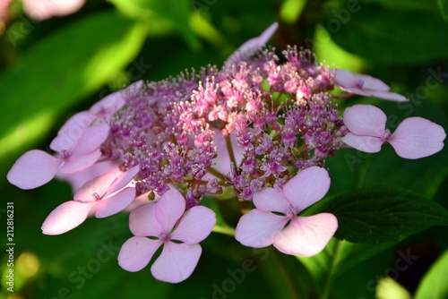 Fotobehang Hydrangea Pink serrata hydrangea in the garden closeup.