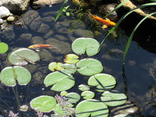 A Koi Fish Pond With Lily Pads And Colorful Fish Swimming Underneath