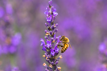 Lavender And Bee / Sakura Lavender Land In Sakura City, Chiba Prefecture, Japan
