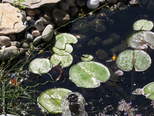 Fotografie, Obraz  A Koi fish pond with lily pads and colorful fish swimming underneath