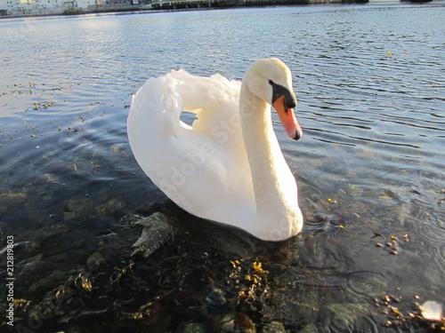 Fotobehang Zwaan Swan Captain of the harbor...Os...Norway