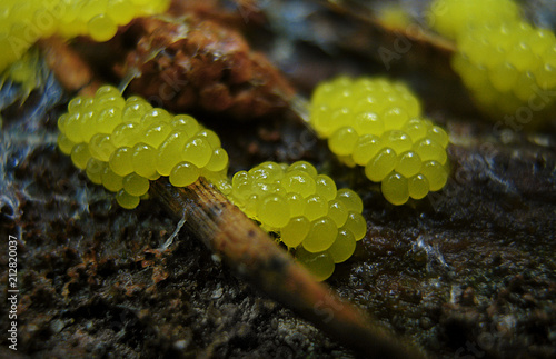 Young forming glazy yellow caviar-like fruit bodies of a Physarum slime mold, or myxomycete Canvas Print
