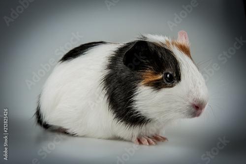Fotografía  cute guinea pig close up