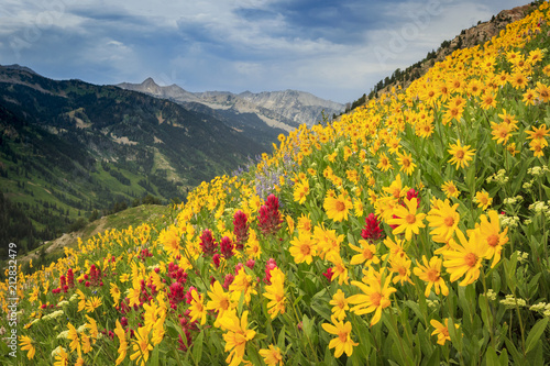 Obraz na plátně  Yellow wildflowers in the Wasatch Mountains, Utah, USA.