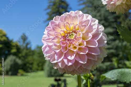 Photo  Light Pink Glenmarc Sophie Dahlia