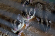 Small Domestic Sugar Gliders W...