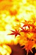 輝く秋./ライトアップされた永観堂の紅葉です.