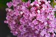 Hydrangea macrophylla ayesha pale pink flowers