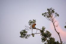 Proboscis Monkey (Nasalis Lar...