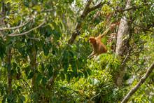 Proboscis Monkey (Nasalis Larv...