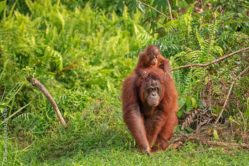 Fototapeta Orangutan (orang-utan) in his natural environment in the rainforest on Borneo (Kalimantan) island with trees and palms behind.
