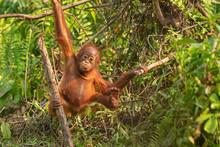 Orangutan (orang-utan) In His ...