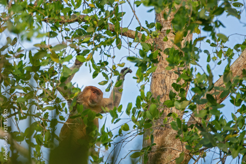 Photo  Proboscis monkey (Nasalis larvatus) - long-nosed monkey (dutch monkey) in his na