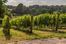 A Vineyard In Sussex On A Sunny Summer's Evening