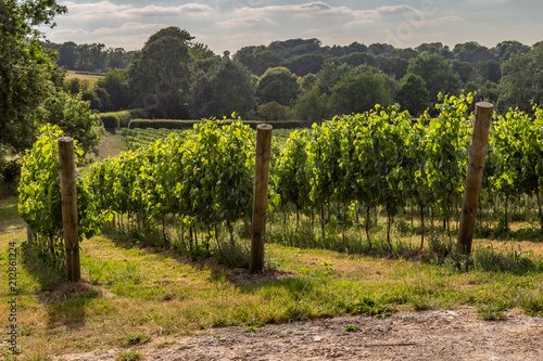 Wall Murals Vineyard A vineyard in Sussex on a sunny summer's evening