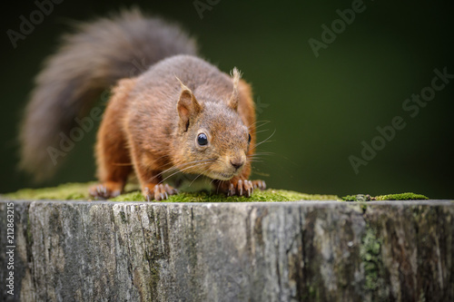 Foto op Canvas Eekhoorn Crouching squirrel
