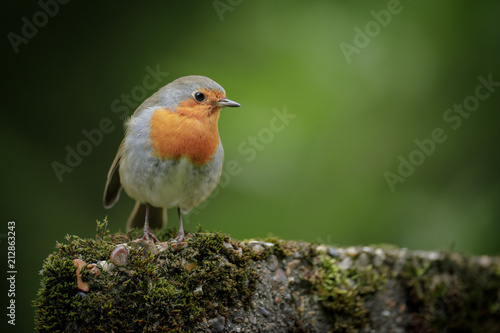 Fotografie, Obraz British robin