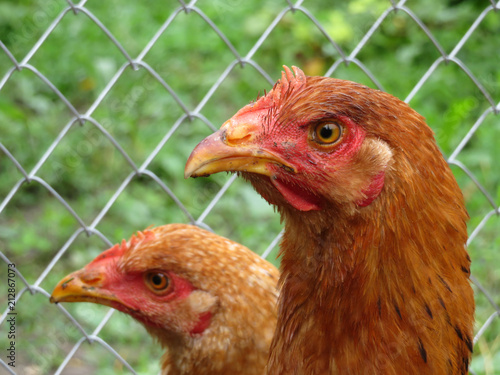 Foto op Canvas Kip Brown chickens on the summer farm against the wire mesh, close-up. Domestic laying hens in the coop, selective focus
